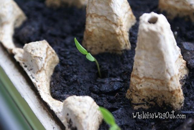 Pimientos_Padron_Plants  01