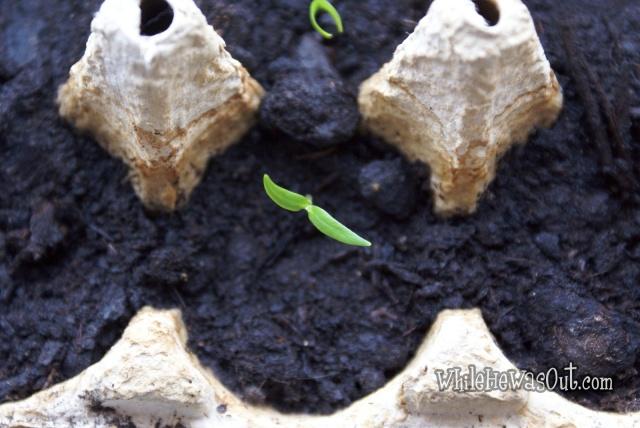 Pimientos_Padron_Plants  03
