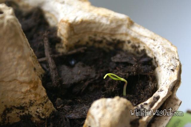 Pimientos_Padron_Plants  04
