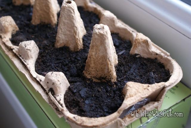 Pimientos_Padron_Plants  05