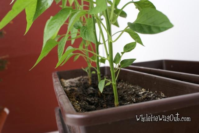 Pimientos_Padron_Plants_3  04