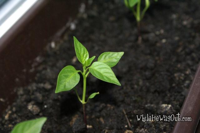 Pimientos_Padron_Plants2  01