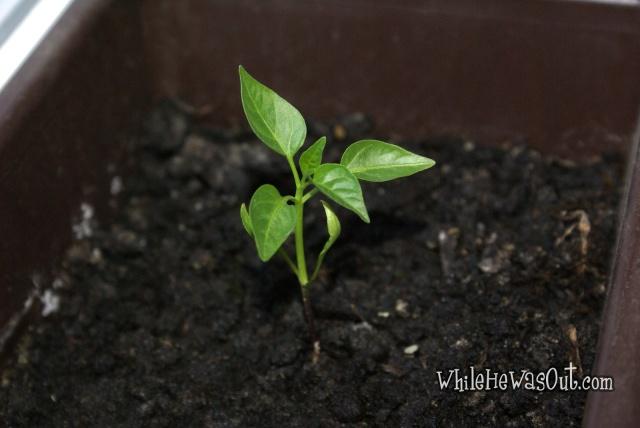 Pimientos_Padron_Plants2  02