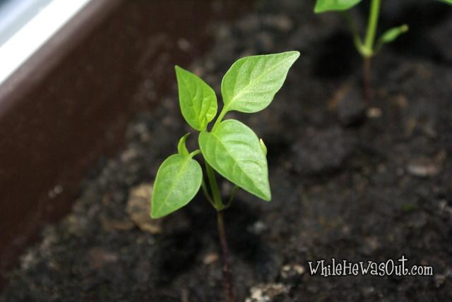 Pimientos_Padron_Plants2  03