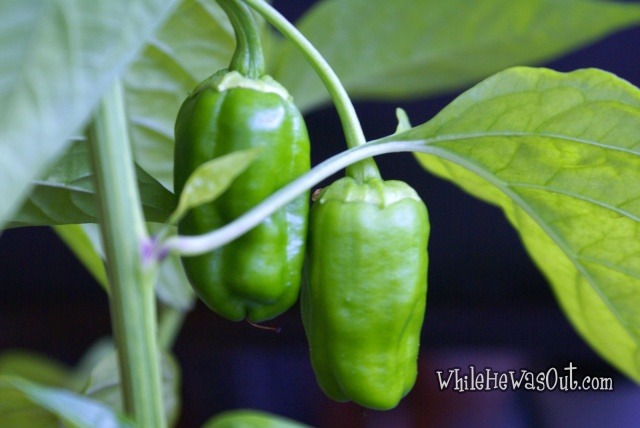Pimientos_Padron_Plants_6  04